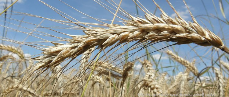 Getreide Stroh Streu Gerste Ähre