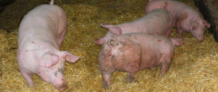 Schweinehaltung am Bauernhof Schweine Bilder Ferkel