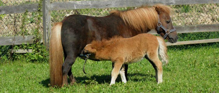 Ponybilder Kleinpferde Shetland Pony